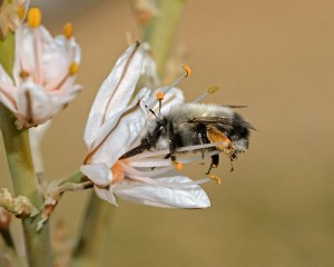 Anthophora sp. collecting nectar from Asphodelus ramosus by Gidip (derivative work by Amada44) CC BY-SA 3.0