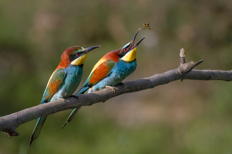 Pair of Merops apiaster feeding. Picture of the Year 2012 on Wikimedia Commons
