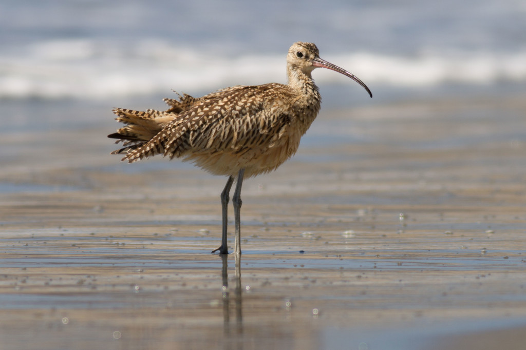 Long-billed curlew at Drakes Beach, Point Reyes National Seashore. I got this shot by lying on the beach and setting my tripod to the lowest position possible. Notice the nicely blurred waves in the background.
