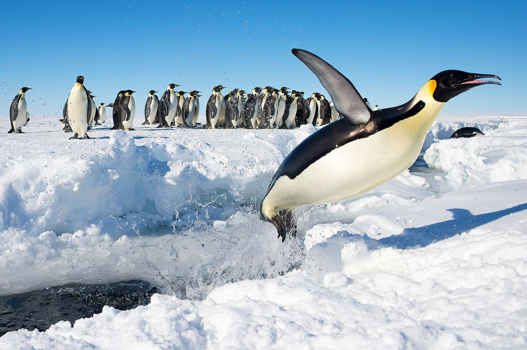Penguin in Antarctica juming out of the water