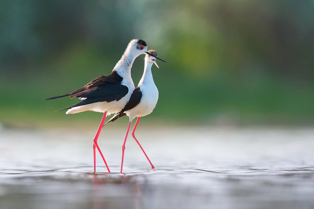 Black-winged stilt courtship behaviour (Himantopus himantopus). Kinburn Peninsula, Ukraine