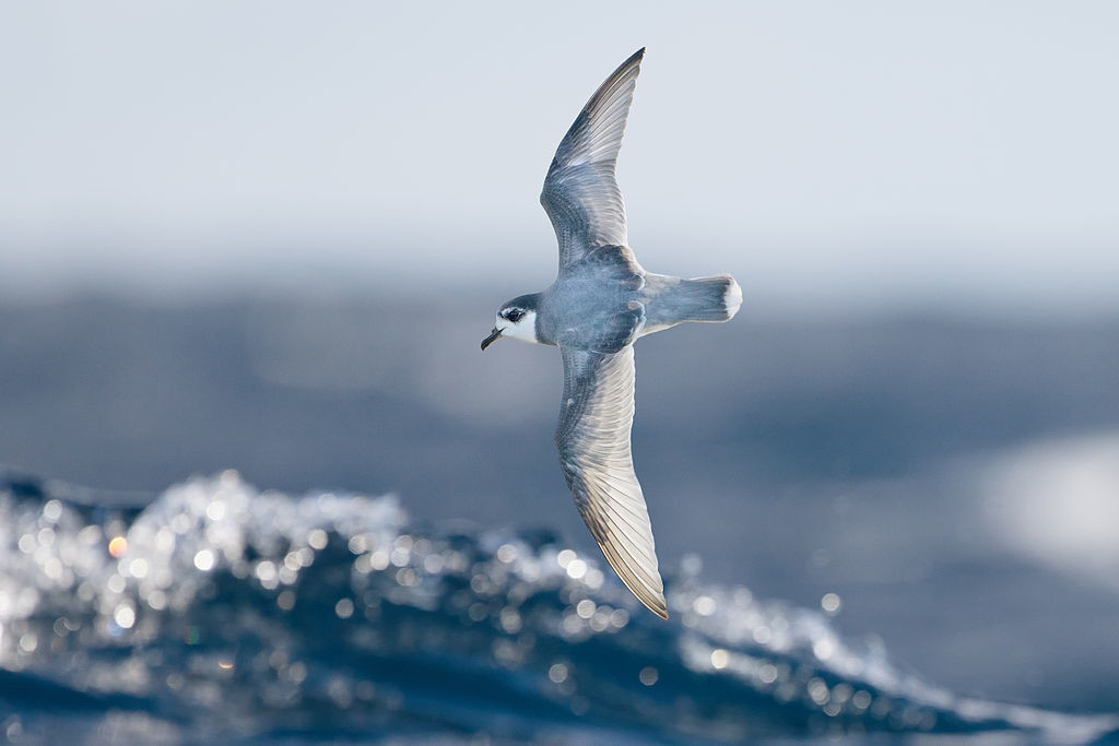 Blue Petrel (Halobaena caerulea), east of the Tasman Peninsula, Tasmania, Australia.